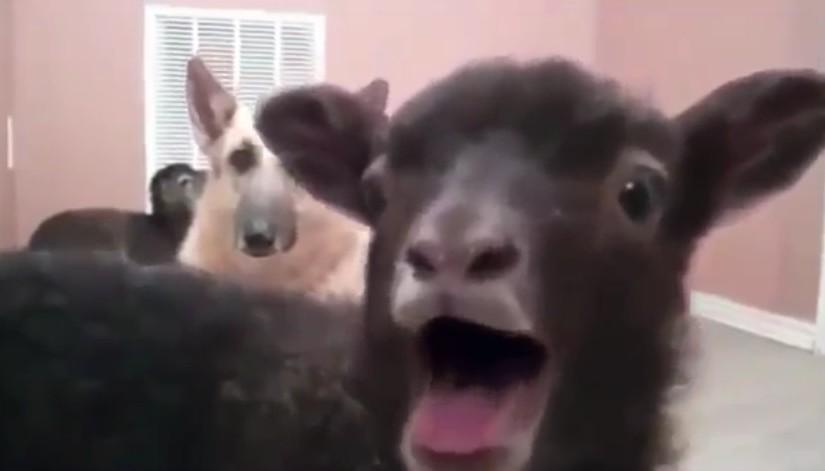Wenn Du hörst, wie diese Ziege meckert, kannst Du nicht mehr!