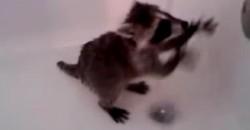 Was macht denn dieser kleine Baby-Waschbär in der Badewanne?