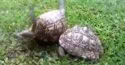 So helfen sich Schildkröten gegenseitig!