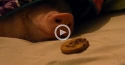 Was macht ein schlafendes Schwein, wenn es einen Keks riecht?