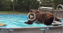 So lustig, wie dieser Bär in den Pool hüpft!