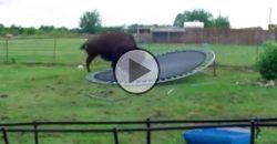 Was macht denn ein Büffel auf einem Trampolin?