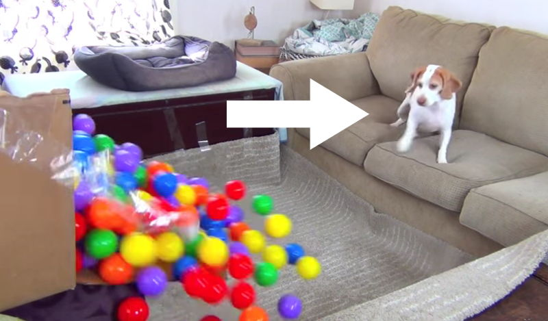 Was dieser Hund wohl macht, wenn sich das Wohnzimmer in ein Bällebad verwandelt?