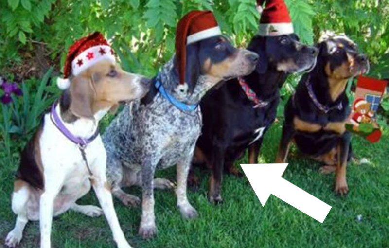 Diese Hunde bellen Jingle Bells