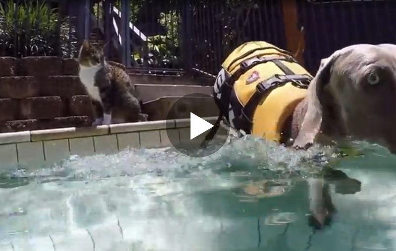 Was diese Katze gleich mit dem Hund im Pool macht, ist einfach zu lustig!
