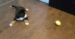 Wie dieser Welpe mit der Zitrone spielt, musst Du sehen!