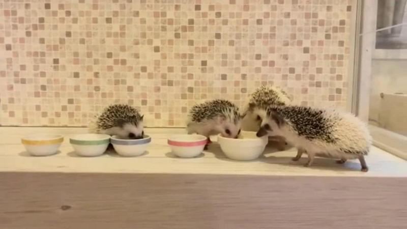 Diese Igel-Familie isst gemeinsam