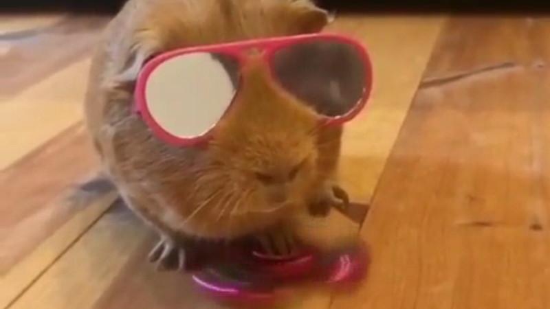 Diese Meerschweinchen sind zu cool für die Schule