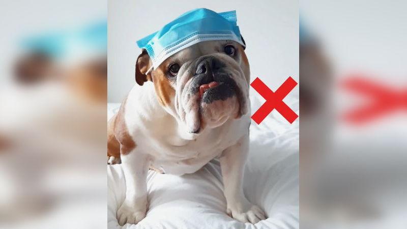 hund-bulldogge-mundschutzmaske-richtig-tragen-anleitung